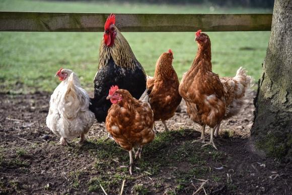 Chickens Cotebrook Shire Horse Centre